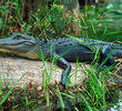 Okefenokee Swamp - Alligator