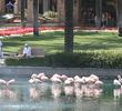 JW Marriott Desert Springs Resort and Spa - flamingos