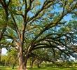 Houston Oaks Country Club - trees
