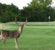 Lago Vista golf course - deer