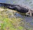 Sandpiper Bay Golf & C.C. - alligator