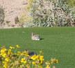 Sanctuary Golf Course - Rabbits