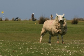 Golfers share holes with sheep on many of the holes at England's oldest links, Royal North Devon Golf Club.