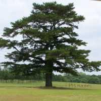 Old Pine GC